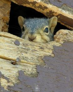 squirrel peeping